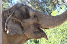 Asian and African species of elephants are most recognizable. The San Diego zoo is home to four African elephants who never have to worry about being hunted for their tusks. The elephant's ears are like built in air conditioning as they fan themselves to stay cool.