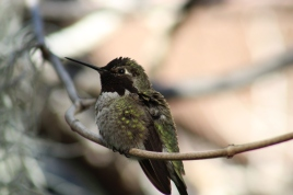 At the San Diego zoo, hummingbirds feast on nectar and fruit flies. Hummingbirds love large areas to perform expert flying. They can fly up, down, backwards, and upside down.
