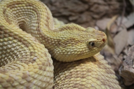 Most rattlesnakes at the San Diego zoo were captured from San Diego county yet the zoo hopes to educate people on how to coexist with the snakes. Never do they attack unless provoked. Without a doubt, look before you step in rattlesnake county.