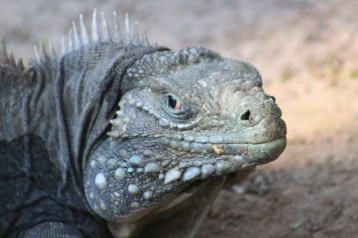 "The Komodo dragon is the largest of all lizards and this guy, Sunny, "" lives in a specially designed enclosure with indoor and outdoor access, heated waterbed platform, and gas heaters for warmth."""