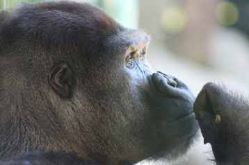 Despite not having any natural predators, Ebola wiped out so many gorillas in Congo. San Diego Zoo Global works to conserve gorillas as well as so many other animals through education and conservation programs.