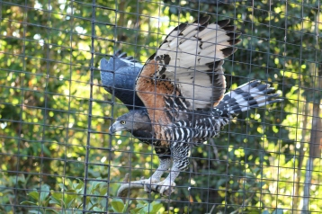When it comes to eagles, the Crowned Eagle is the toughest eagle from Africa. They can easily take down 44 pounds of prey and at the San Diego Zoo, the enjoy large rats and rabbits.