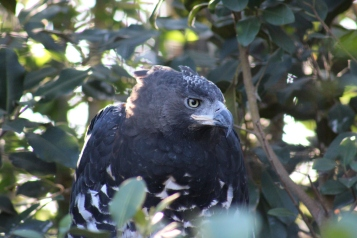 Crowned Eagles of Africa love to hunt their prey by sitting still in a tree hidden in leaves and swooping down at the perfect moment.