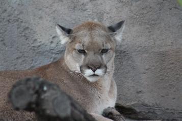 """In 2007, the mountain lions named Koya and Kima were brought to the San Diego zoo when they were found abandoned as cubs. Their habitat is built to look like the California mountains and """"also features a state-of-the-art scent distribution system that allows keepers to pump various scents into the exhibit to keep Koya and Kima active and intrigued."""""""